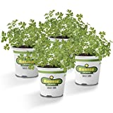 Bonnie Plants Flat Italian Parsley Live Herb Plants - 4 Pack | Biennial | Non-GMO | Garnish, Seasoning, Salads, Palate Cleanser