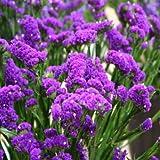 Outsidepride Statice Purple - 1000 Seeds