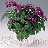 AGROBITS Cherry Pie Heliotropium Arborescens Bonsai 100pcs, Highly Fragrant Plant Flower Bonsai, Marine Flower Bonsai