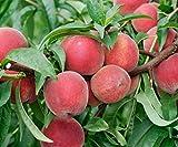 Red Haven Peach Tree Semi-Dwarf - Healthy Established 1 Gallon Trade Pot 1 each