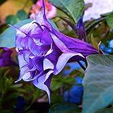 100Pcs Mix Color Datura Flower Seeds Dwarf Brugmansia Angel's Trumpets Bonsai Seed Home Garden