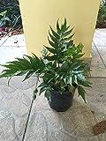 PlantVine Cyrtomium falcatum, Japanese Holly Fern - Medium - 6 Inch Pot (1 Gallon), 4 Pack, Live Plant