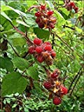 "Plentree Seeds Package: e Rasp-Red ~ Japanese ~"""" + Fruit Seeds"