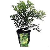 """Key Lime Tree Pot 8"""" Fruiting Size/Branched Plant Make Outdoor Garden Best Gift"""