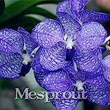 100 Seeds Vanda Coerulea Seeds Diy Plants Pot Seed Germination Rate Of %95 1 #32722953921ST
