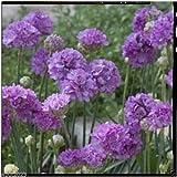 Best Garden Seeds Armeria pseudarmeria (Ballerina Lilac Seeds) False Sea Thrift, Perennial