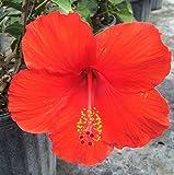 Hibiscus rosa-sinensis Red ~ Live Plant