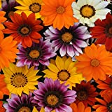 Outsidepride Gazania New Day Mix - 100 Seeds