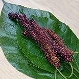 "Long Mulberry Tree 'Pakistan"" Black Mulberry Tree Morus alba Live Plant Fruit"