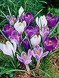 Crocus, Bulbs (10 Pack), Mix, Purple White Perennial Crocus Bulbs, Blue White Caps