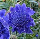 35+ DEEP BLUE PINCUSHION SCABIOSA FLOWER SEEDS/PERENNIAL