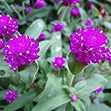 Wintefei 50Pcs Gomphrena Globosa Seeds Flower High Germination Home Garden Decor Plant
