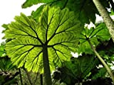 10 Seeds Gunnera peltata Ornamental Tree