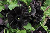 Petunia - 100 Seeds - Black Cat - Rare Find - Rngardens