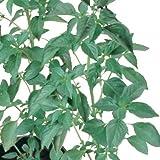 Basil Sweet Dani - Herb Seeds Package - Approx. 100 Seed Packet