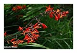 Chasmanthe aethiopica - Lesser cobra lily - 25 seeds