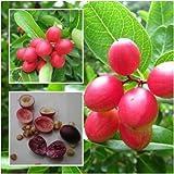 Karonda Fruit, Carunda, Carissa carandas Seeds, Fruit Seeds, Natal Plum