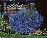 300 seeds - Lobelia Seeds ,Trailing Sapphire, Hanging baskets,Trailing over window or Wall