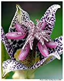 Toad Lily Japanese * Tricyrtis Hirta * Hardy Woodland * Shade Tolerant * Seeds