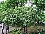 Autumn Olive Tree 15 Seeds (Elaeagnus umbellata) Landscape Use