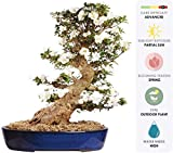 "Brussel's Live Azalea Specimen Outdoor Bonsai Tree - 60 Years Old; 24"" Tall with Decorative Container"