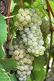 Van Zyverden Thompson Seedless Grapes Plants (Set of 3), White