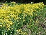 9 Seeds Woad Seeds, Isatis tinctoria, Plant Used as Dye, Herb Plant, Organic,