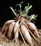 "Yacon - Peruvian Ground Apple - Smallanthus sonchifolius - 4"" Pot"