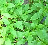 200 Persian Basil seeds Anise Licorice Ocimum Basilicum ez grow Herb CombSH E43