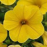 20 Seeds Yellow Kabloom Calibrachoa the First Ever Grow From Seed Calibrachoa
