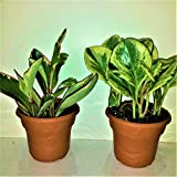 TWO Peperomia Plants In Four inch Panterra Pots with Saucers, Emeritus Gardens Booklet On Houseplant Care and Emeritus Gardens Plant Food.