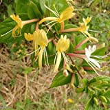 Japanese Honeysuckle 25 seeds Fragrant Low maintaince Fast Growing CombSH