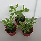 BASIL THAI Live Plant Vietnamese Hung Que Plant - Herb Live Plants Fit 1 Gallon Pot