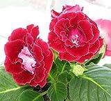 Mr.seeds Red Gloxinia Seeds Perennial Flowering Plants Sinningia Speciosa Bonsai Balcony Flower for DIY Home & Garden - 100 PCS