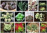 Crassula Mix 10 SEEDS Exotic Cute Rare succulent