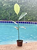 "JACKFRUIT Live Plant 6-10"" Tall Seedling Non-GMO Organic Healthy Strong Root High Quality Live Plant"