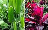 "Red & Green Hawaiian ""Good Luck"" Ti Plant Starter Logs"