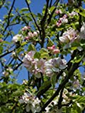 European Crab Apple, (French Crabapple), Malus sylvestris, Tree Seeds (Fast) 20 seeds