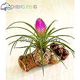 50pcs Hot Sale Tillandsia Cyanea Seeds Potted Flower Seeds Purple Chinese Rare Bonsai Decoration For Home & Garden