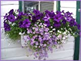 200 MIXED COLORS SWAN RIVER DAISY Brachyscome Iberidifolia Flower Seeds