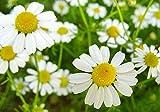 500+ ORGANICALLY GROWN German Chamomile Seeds Heirloom NON-GMO Matricaria Recutita From USA