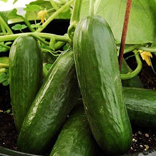 Picolino F1 Hybrid Cucumber Seeds (80 Seed Pack)
