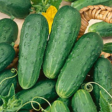 Saavyseeds Organic Champion Bush Cucumber Seeds - 35 Count -