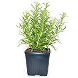 Stargazer Perennials Rosemary Herb Plant Hardy Rosemary Grown Organic USA Great Container Herb
