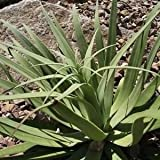 Spider Agave Succulent Seeds (Agave Bracteosa) 80+Seeds
