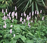 Persicaria Bistorta - 30 Seeds - Common Bistort / Polygonum Bistorta