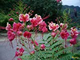 15 SEEDS PINK PRIDE OF BARBADOS CAESALPINIA PULCHERRIMA MEXICAN EXOTIC FLOWER