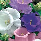 CAMPANULA-Canterberry Bells Mix-(1) Gallon Sized 2 year Hardy Perennial Flower Live Plants