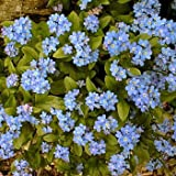 Outsidepride Forget Me Not Flower Seed - 5000 Seeds