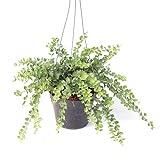 Dischidia Million Heart vase with steel hanger by joinflower joinfolia.